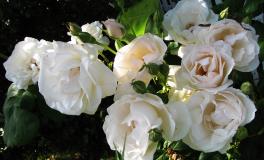 En af Else Maries roser